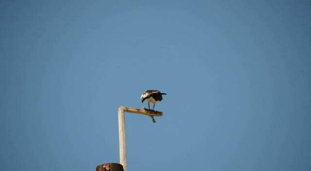 Osprey at Chambers Creek Park