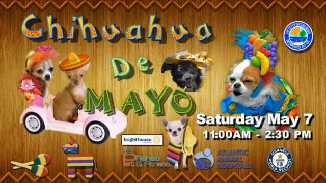 Chihuahua de Mayo